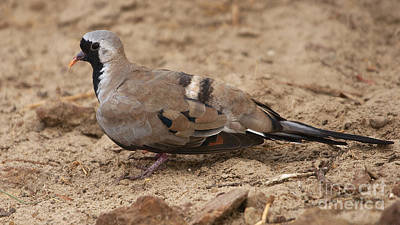 Photograph - Namaqua Dove by Mareko Marciniak