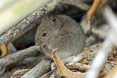 Gnawing Photograph - Namaqua Rock Mouse by Peter Chadwick