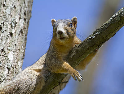 Fox Squirrel Photograph - Natural Blues by Betsy Knapp