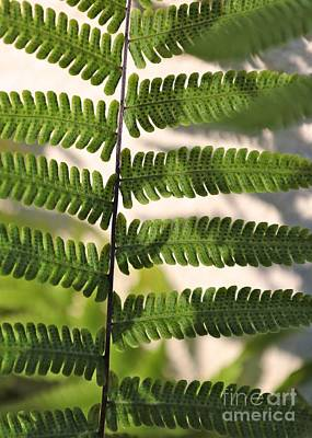Photograph - Nature - Fern Fronds by Carol Groenen