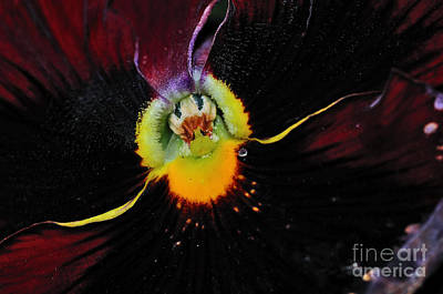 Genus Photograph - Nature's Amazing Colors - Pansy by Kaye Menner