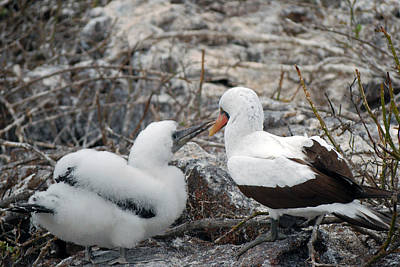 Photograph - Nazca Booby With Chick by Harvey Barrison