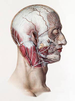 Neck And Facial Nerves Art Print by Mehau Kulyk
