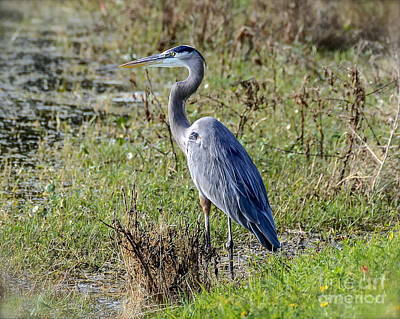 Photograph - Neighborhood Heron by Carol  Bradley