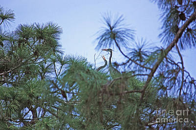 Photograph - Nesting Blue Herons by Terri Mills