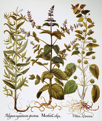 Horsemint Photograph - Nettles And Mint, 1613 by Granger