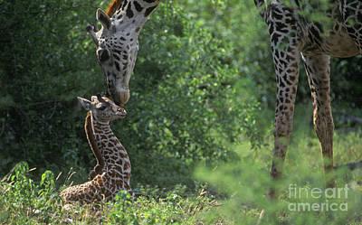Photograph - New Born Giraffe - Lake Manyara Np Tanzania by Craig Lovell