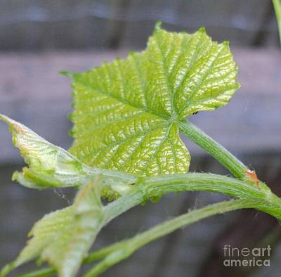 Grape Leaves Photograph - New Grape Leaves Macro by Padre Art