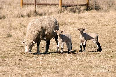 Photograph - New Lambs by Mark McReynolds