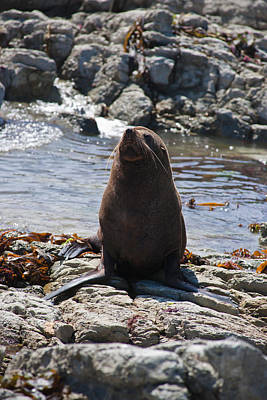 Photograph - New Zealand Fur Seal by Graeme Knox