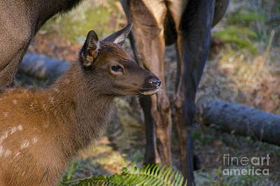 Newborn Elk Print by Sean Griffin