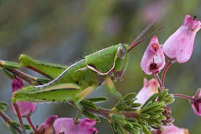 Mar2613 Photograph - Newly Discovered Grasshopper South by Piotr Naskrecki