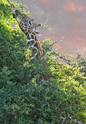 Photograph - Nibbling Giraffe by Marie Morrisroe