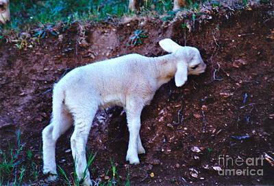 Photograph - Nibbling Lamb by Barbara Plattenburg