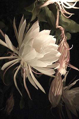 Epiphyllum Oxypetalum Photograph - Night Blooming Cereus #64 by Jennifer Spencer