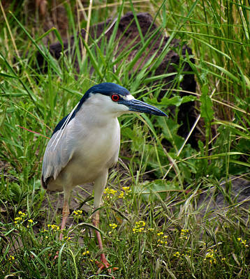 Photograph - Night Heron by Britt Runyon
