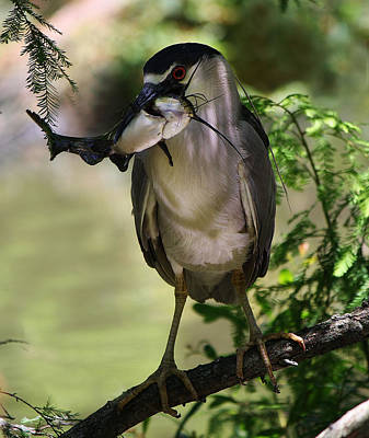 Night Heron With His Catch Art Print by Paulette Thomas