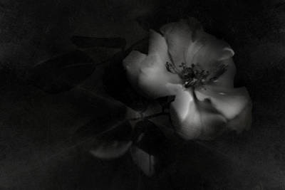 Photograph - Night Rose by Rebecca Sherman