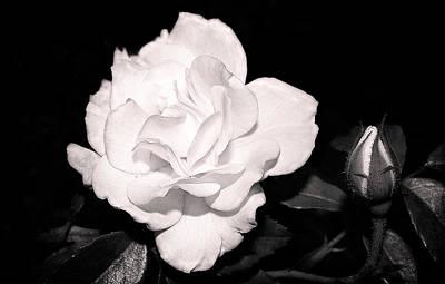 Photograph - Night Roses by Milena Ilieva
