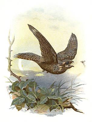 Nightjar, Historical Artwork Art Print