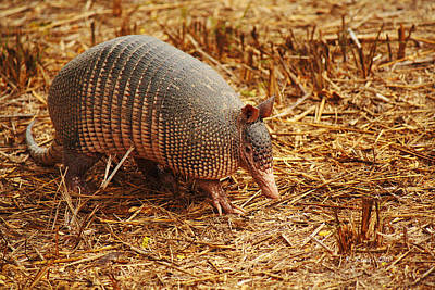Photograph - Nine-banded Armadillo Portrait by Roena King