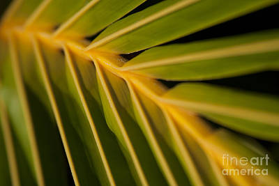 Niu - Cocos Nucifera - Hawaiian Coconut Palm Frond Art Print by Sharon Mau