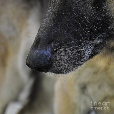 Animals Photograph - Noble Nose by Tanya  Searcy