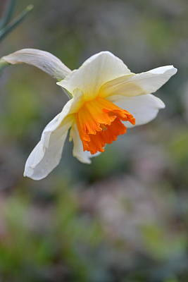 Photograph - Nodding Narcissus by JD Grimes