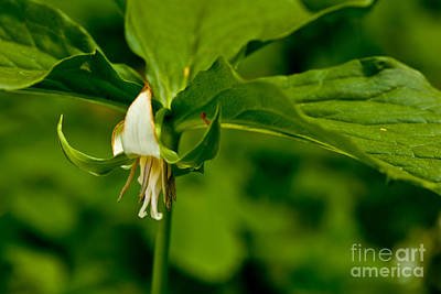 Photograph - Nodding Trillium by Jack R Perry
