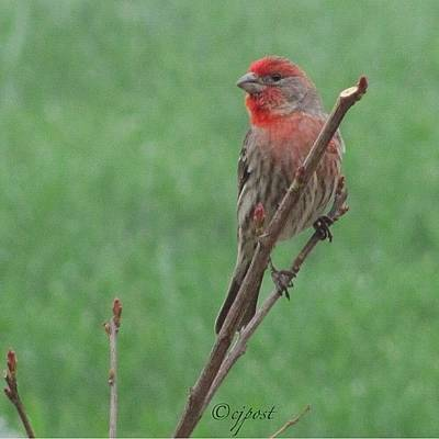 Finch Photograph - #nofilter Pretty Little Male by Cynthia Post