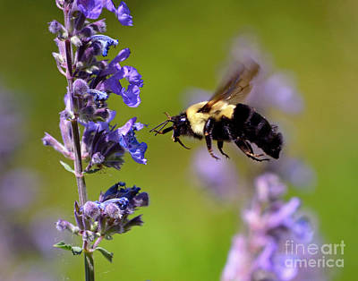 Photograph - Non Stop Flight To Pollination by Sue Stefanowicz