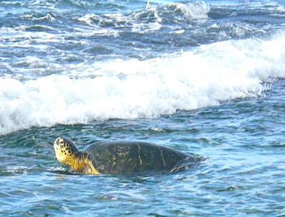 Photograph - North Shore Hawaiian Sea Turtle by Erika Swartzkopf