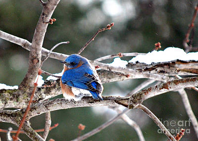 Northern Bluebird Art Print by Lila Fisher-Wenzel