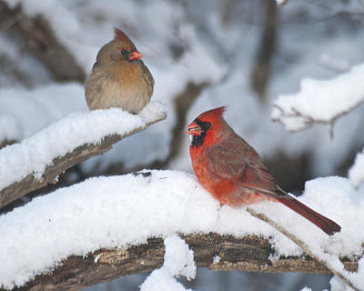 Northern Cardinal Pair 4284 2 Art Print by Michael Peychich
