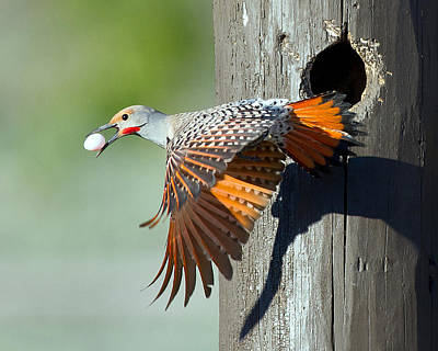 Y120831 Photograph - Northern Flicker by CR Courson