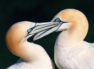 Animal Behavior Photograph - Northern Gannet Pair by Colin Carter Photography