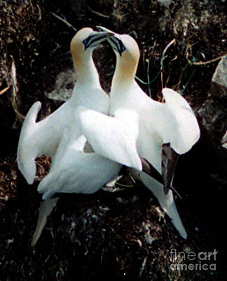 Photograph - Northern Gannets by Donna Brown