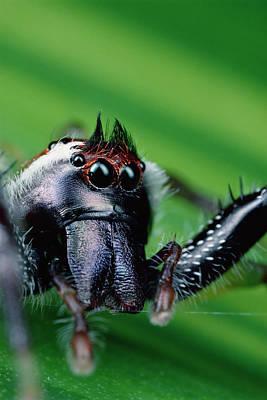 Photograph - Northern Green Jumping Spider Mopsus by Mark Moffett