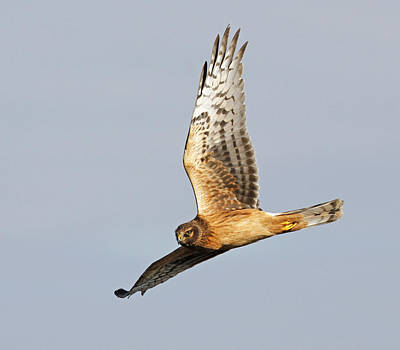 Y120831 Photograph - Northern Harrier In Flight by ©SusanLiddle