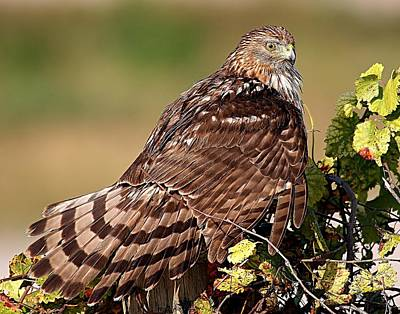 Photograph - Northern Harrier by Ira Runyan