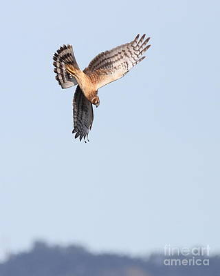 Photograph - Northern Harrier Marsh Hawk Hunting . 7d11096 by Wingsdomain Art and Photography
