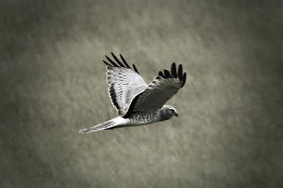 Photograph - Northern Harrier by Tiana McVay