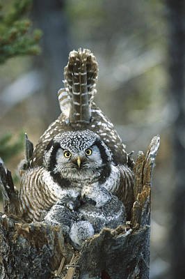 Photograph - Northern Hawk Owl Surnia Ulula At Nest by Michael Quinton