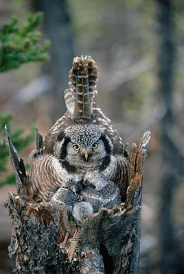 Three Chicks Photograph - Northern Hawk Owl Surnia Ulula Parent by Michael Quinton