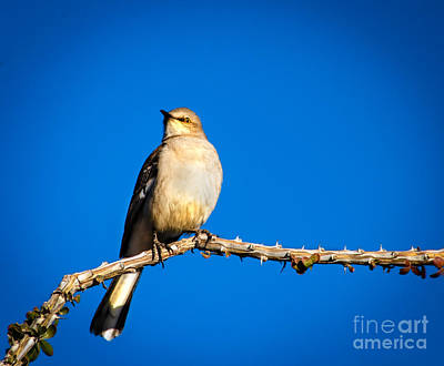Photograph - Northern Mockingbird by Robert Bales