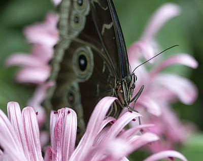 Northern Pearly-eye On Pink Art Print by Bill Tiepelman