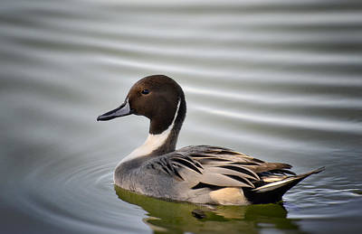Photograph - Northern Pintail Duck  by Saija  Lehtonen