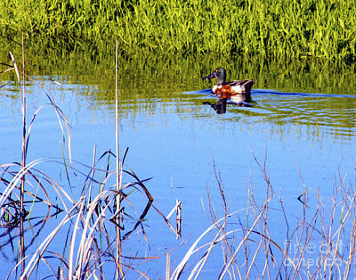 Photograph - Northern Shoveler by Diana Cox