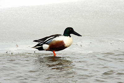 Photograph - Northern Shoveler Duck - 0003 by S and S Photo