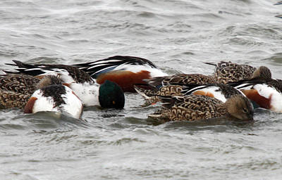 Photograph - Northern Shoveler Duck - 0005 by S and S Photo